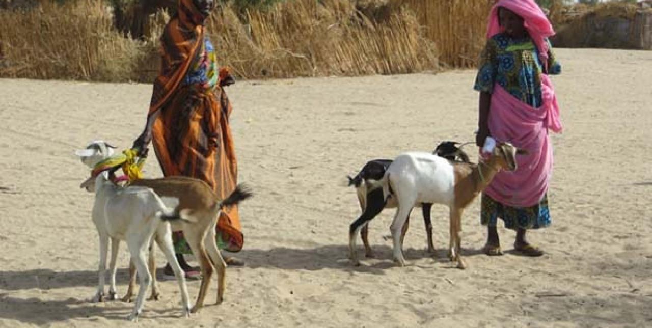 Fiere di piccoli ruminanti in Ciad