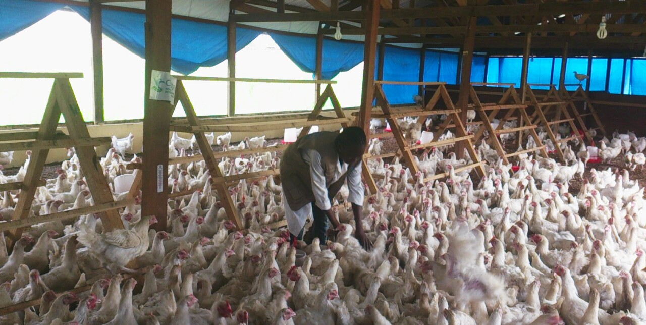 Chickens and hens to boost poultry farming in Bangui