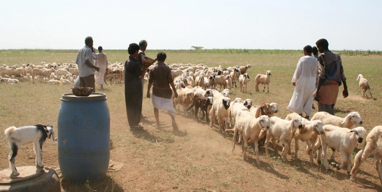 Sudan: 100.000 vaccini per proteggere le greggi.