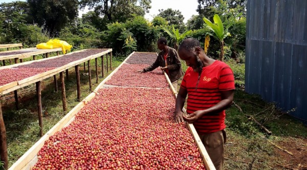 Inclusion and sustainability in the coffee chain